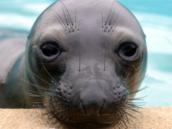 Young Elephant Seal at The Marine Mammal Center